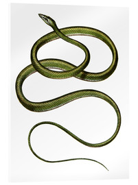 Stampa su vetro acrilico  Long-nosed Tree Snake - German School