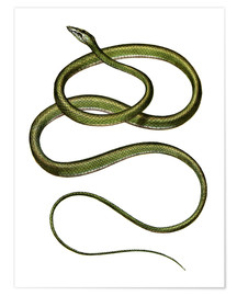 Poster Premium  Long-nosed Tree Snake - German School