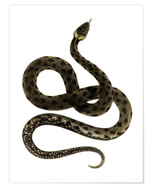 Poster Premium  European Grass Snake - German School