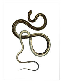 Poster Premium  Eastern Ribbonsnake - German School