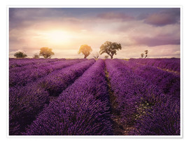 Poster Premium Lavender field at sunset, Provence