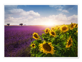 Poster Premium  Lavender and sunflowers fields , Provence - Elena Schweitzer