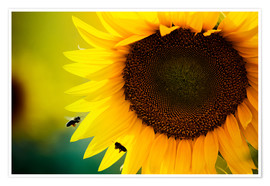 Poster Premium  Two bees in sunflower