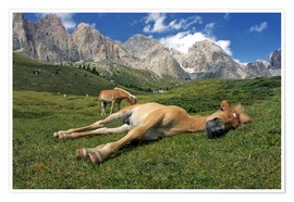 Poster Premium Peacefully sleeping Haflinger foal on a mountain meadow