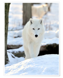 Poster  Beautiful white wolf in winter