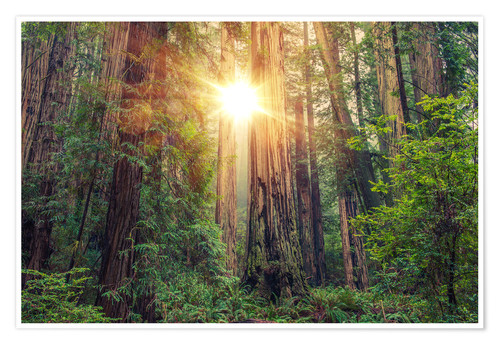 Poster Premium Redwood Forest in Northern California