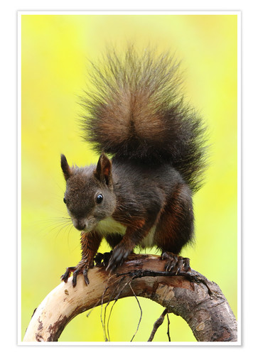Poster Premium Squirrel on a branch