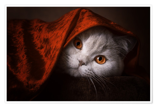 Poster Premium Little Red Riding Hood? British short-haired cat under red blanket
