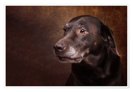Poster Premium Old Chocolate Labrador Portrait
