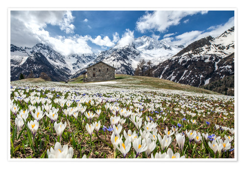 Poster Premium Crocus flowers, Malenco Valley, Italy