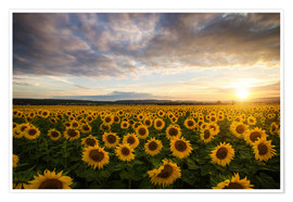 Poster Premium Girasole in estate