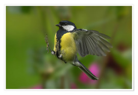 Poster Premium Great Tit in landing approach