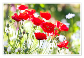 Poster Premium Red poppies on a sunny day