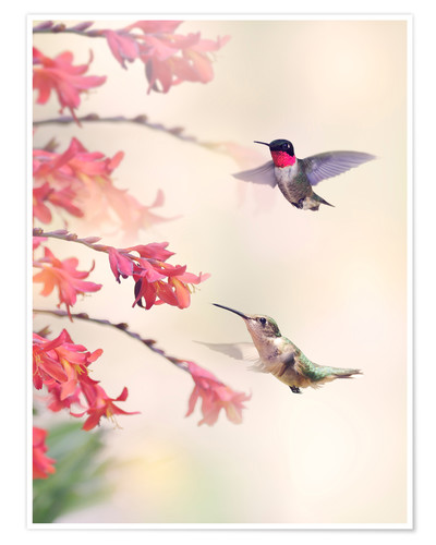 Poster Premium Hummingbirds and flowers