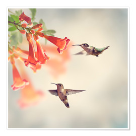 Poster Premium  Hovering hummingbirds