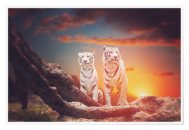 Poster Two white tigers