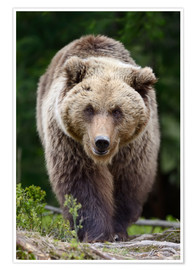 Poster Premium  Brown bear in focus
