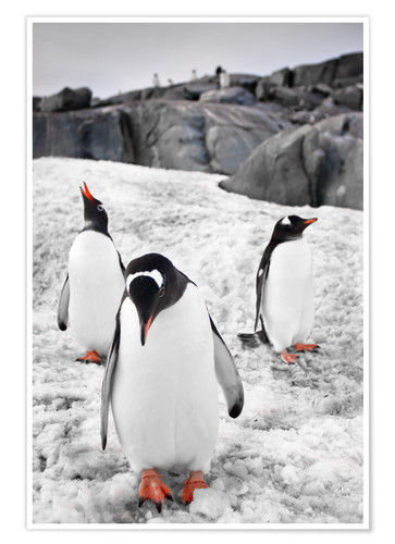 Poster Three penguins with rocks in the background