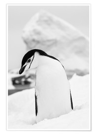 Poster  Penguin on white snow
