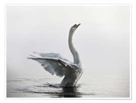 Poster  Swan on lake - Alex Saberi