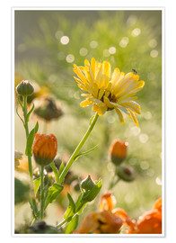 Poster Premium Yellow and orange flowers in the morning