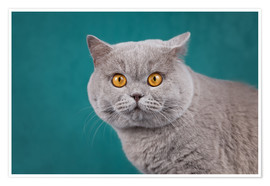 Poster Premium Imposing British short-haired cat