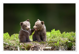 Poster Premium  Two young brown bears