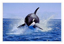 Poster Killer Whale, leaping, Canada