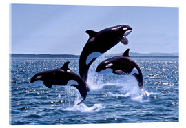 Vetro acrilico  Killer Whales, adults and young leaing, Canada - Gérard Lacz