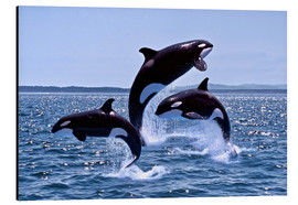 Stampa su alluminio  Killer Whales, adults and young leaing, Canada - Gérard Lacz