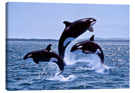 Tela  Killer Whales, adults and young leaing, Canada - Gérard Lacz