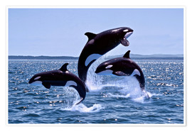 Poster  Killer Whales, adults and young leaing, Canada - Gérard Lacz