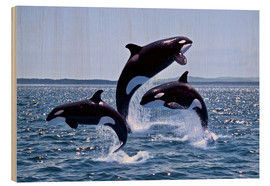 Legno  Killer Whales, adults and young leaing, Canada - Gérard Lacz