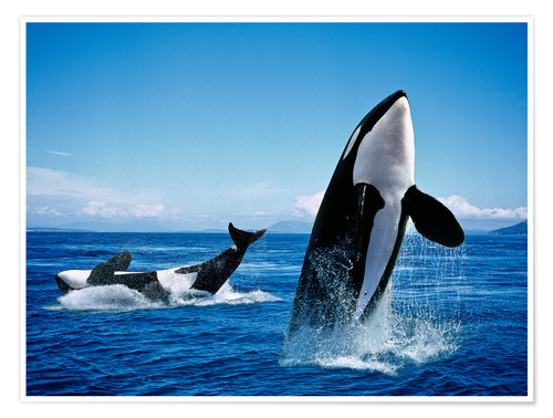 Poster Premium Killer Whales, breatching
