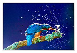Poster Premium  Common Kingfisher stunning fish against branch - FLPA