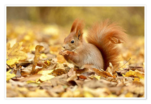 Poster Premium Red Squirrel in an urban park in autumn