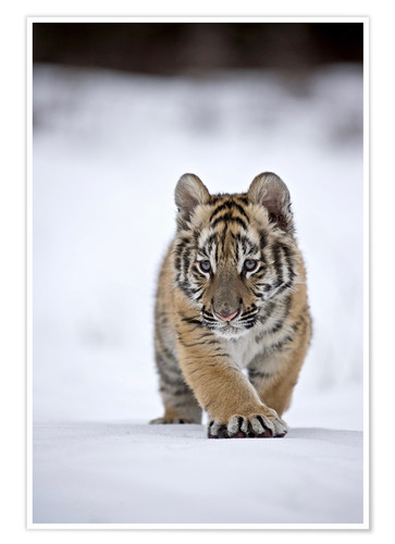Poster Premium Siberian Tiger cub, walking on snow