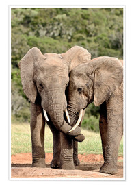 Poster Premium African bush elephants bulls twisting their trunks