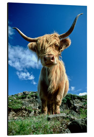Alluminio Dibond  Scottish Highland Cattle, Scotland - Duncan Usher