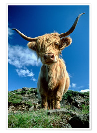 Poster Premium  Scottish Highland Cattle, Scotland - Duncan Usher