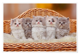 Poster Premium Five British Longhair kittens