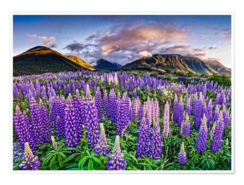 Poster Premium Lupines at Arthur's Pas