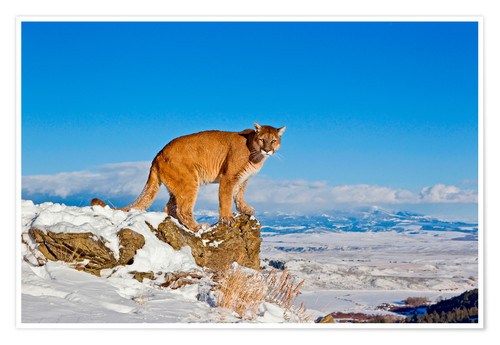 Poster Premium Puma standing on rock in snow, Rocky Mountains