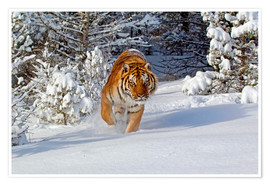 Poster Premium  Siberian Tiger walking in snow - FLPA