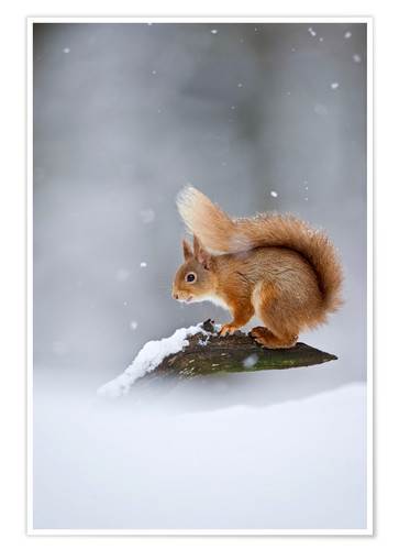 Poster Premium Eurasian Red Squirrel standing on branch in snow