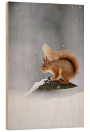 Stampa su legno  Eurasian Red Squirrel standing on branch in snow - FLPA