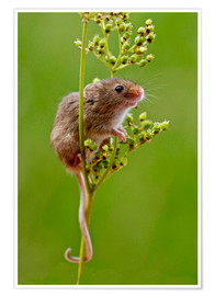 Poster Premium Harvest Mouse climbing Meadowsweet