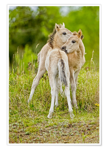 Poster Premium Konik, wild horse, two foals playing