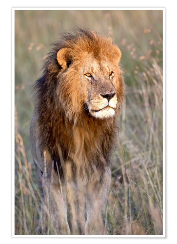 Poster Premium Masai Lion standing in grassland at dawn