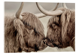 Stampa su vetro acrilico  Highland Cattle, cows greeting each other - imageBROKER